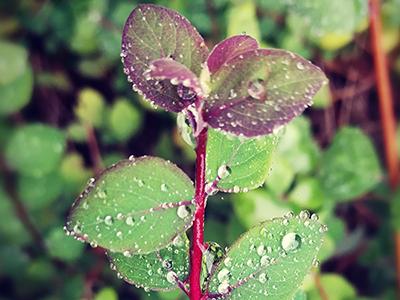 Pflanze mit Regentropfen nach der Hitzewelle